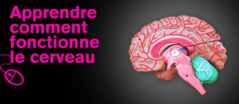 Apprendre comment fonctionne le cerveau pour parler profession juin 2010 - Comment fonctionne le viager ...